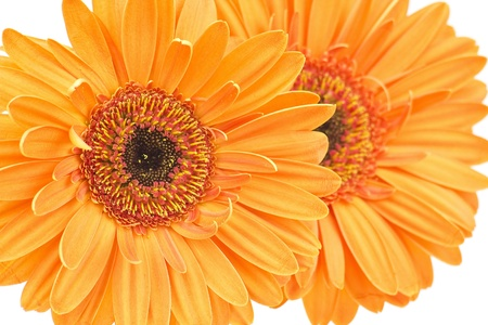 orange gerbera daisies photo