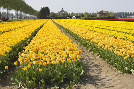 tulip field in the Netherlands Stock Photo - 13181208