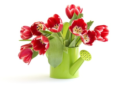 bunch of red tulips isolated on white background Stock Photo - 13181212
