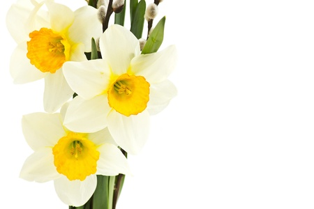 narcissus flowers photo