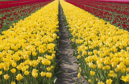 colored tulip field in the Netherlands photo