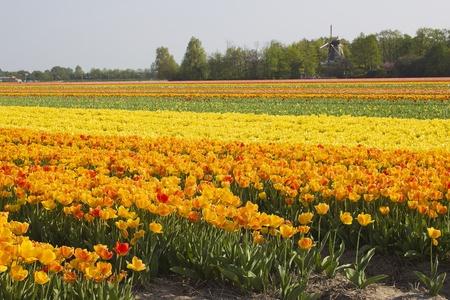 Multi colored tulip field in the Netherlands photo