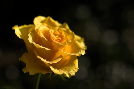 yellow rose Stock Photo - 13181369