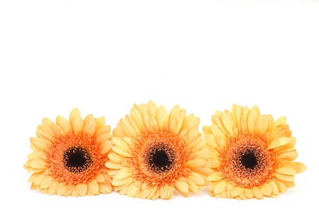 orange gerbera flowers photo