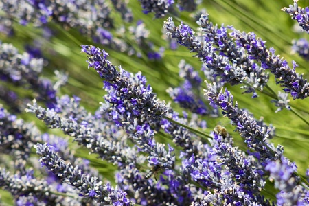 lavender flowers Stock Photo - 13227878