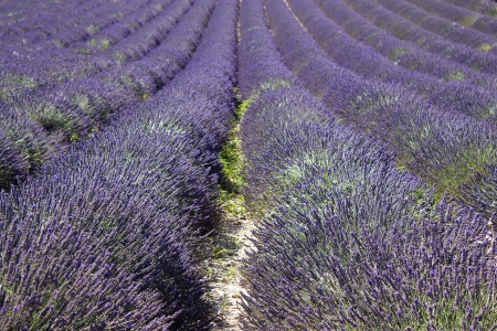 Lavender field in the region of Provence, southern France photo