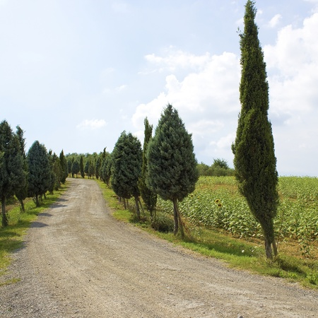Cypress Alley leading to the farmers house in Tuscany  photo