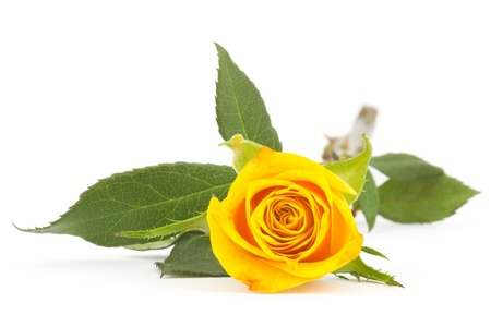 single yellow rose on white