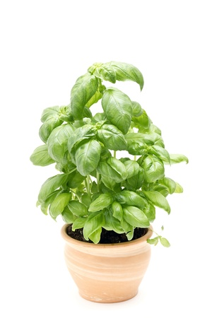basil in pot isolated on white
