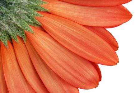 gerbera daisy photo