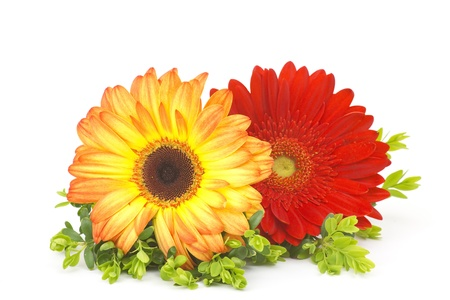 gerbera daisies Stock Photo - 13543647