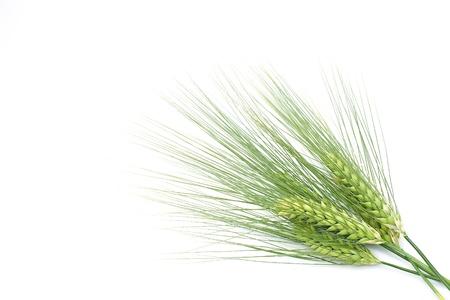 L'orge verte Banque d'images - 13543835