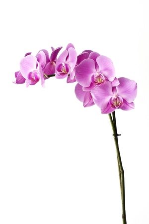 Orchid isolated on a white background Stock Photo