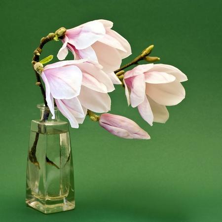 magnolia flowers Imagens