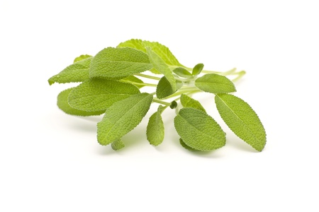 white salvia: Branch of salvia on white background Stock Photo
