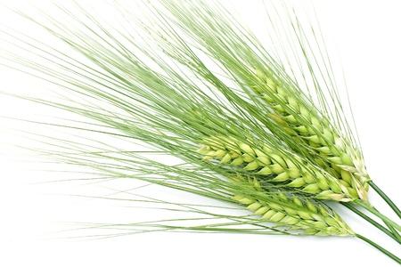 cereal ear: green barley