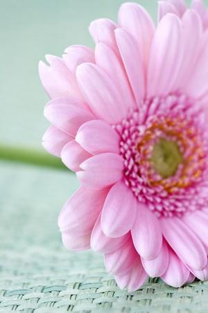 pink gerber photo