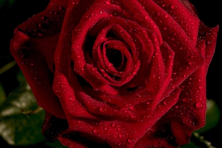 red rose Stock Photo - 13643406