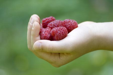 Child's hand full of red raspberries Stock Photo - 13662383