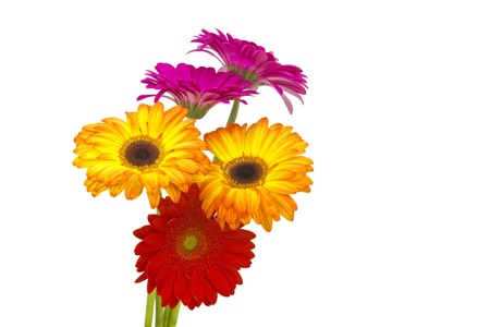 gerbera daisies Stock Photo - 13662332