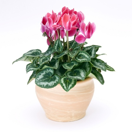 cyclamen flowerpot Stock Photo