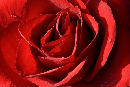 red rose Stock Photo - 13750364