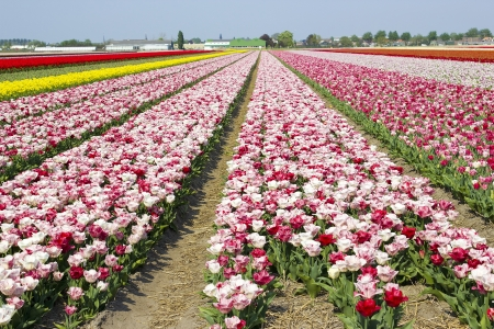 tulip field in the Netherlands photo