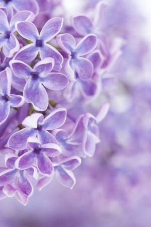 Blooming lilac flowers. Abstract background. photo