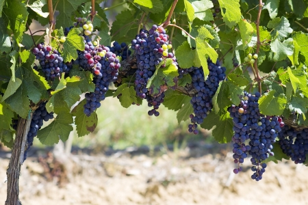 tuscan grapes Stock Photo