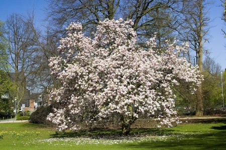 blooming magnolia tree photo