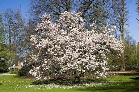 magnolia tree: blooming magnolia tree Stock Photo