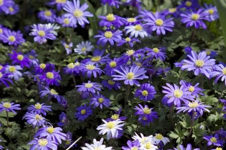 purple japanese anemone flowers Stock Photo - 13942733