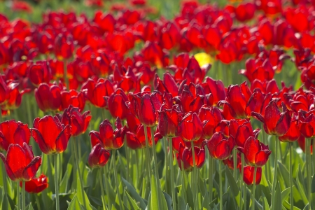 A spring field with red tulips in the Netherlands photo