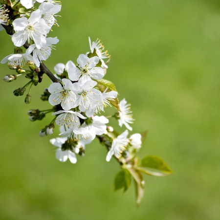 Branch of a blossoming tree with white flowers photo