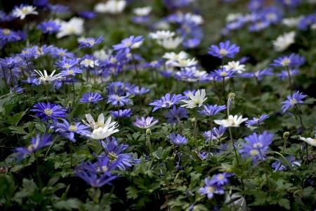 purple japanese anemone flowers Stock Photo - 14154934