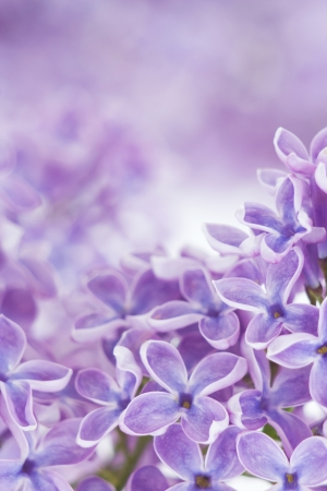 Blooming lilac flowers. Abstract background. Macro photo. Stock Photo - 14155302