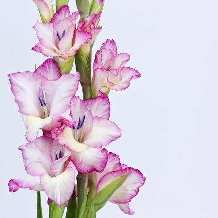 pink gladiolus photo