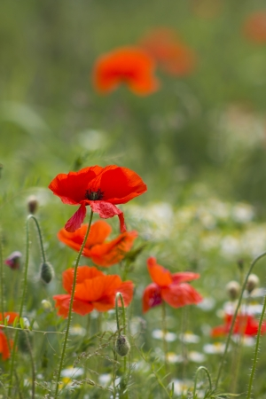 summer field of red poppies photo