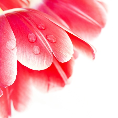 Macro shot of a water drop on red tulip petals  photo