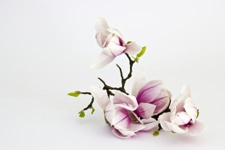 magnolia flower Standard-Bild