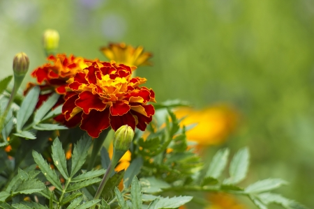 tagetes: Beautiful Marigolds (tagetes patula)