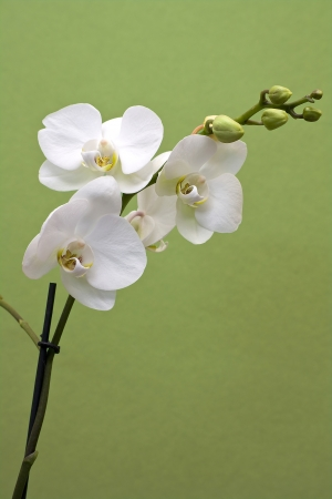 Orchid isolated on green photo
