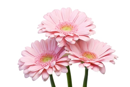 pink gerbers on white background photo