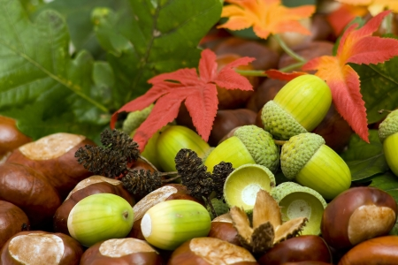 autumn background - chestnuts, acorns and autumn leaves  photo