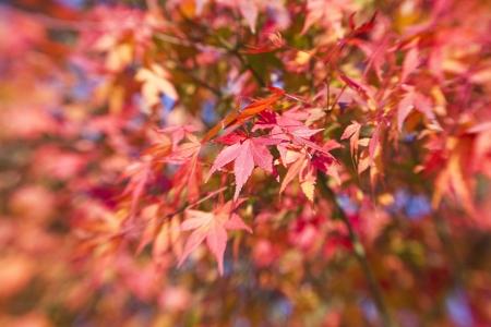 blurr: beautiful maple leaves  Stock Photo