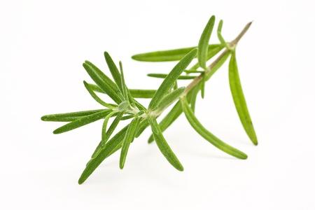 raminho: frescas de alecrim (Rosmarinus officinalis)