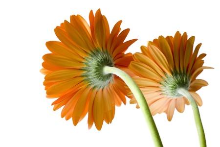 orange gerber photo