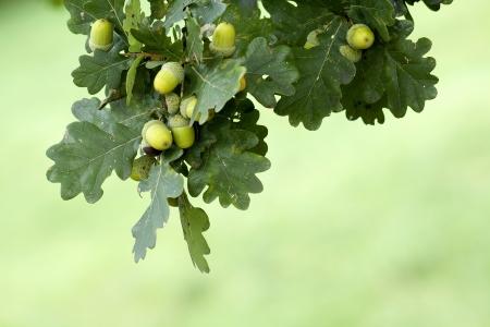 Vert gland de chêne sur la branche Banque d'images - 14853697