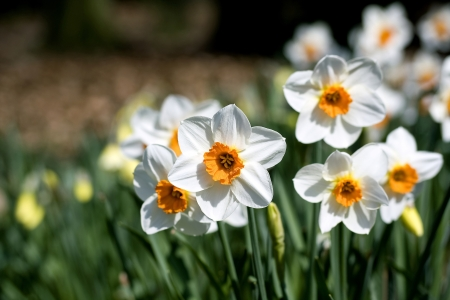 narcissus - spring in the park