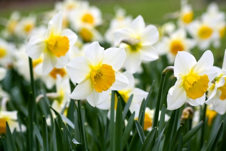 daffodils: narcissus flowers Stock Photo